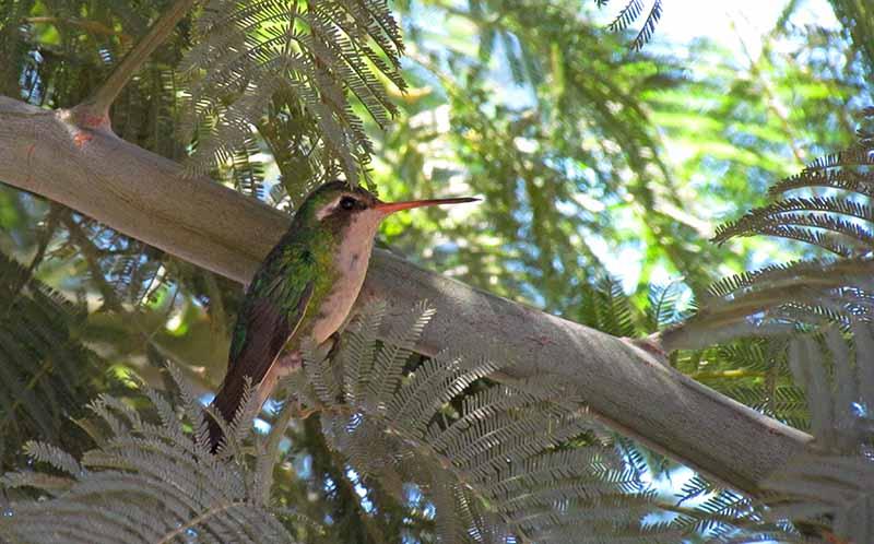 Ejemplar hembra de colibrí verde.