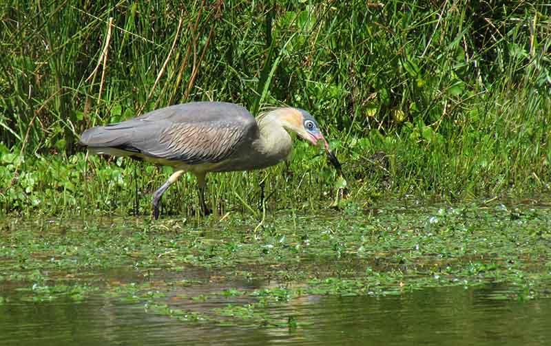 Chiflón adulto buscando alimento en el arroyo Belisario (Villa Ventana)