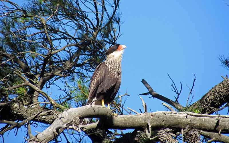 Carancho en búsqueda de alimento, observando atento desde lo alto de un pino.