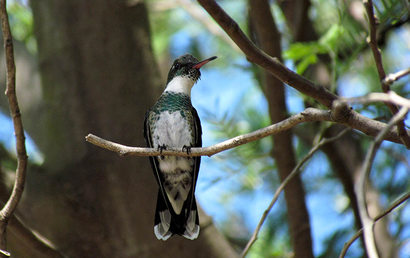Ejemplar de colibrí de garganta blanca sobre una acacia.
